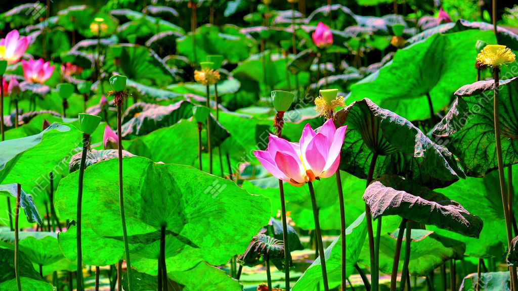 Blooming Pink Lotus Flower Sways And Flutters In The Wind Stock