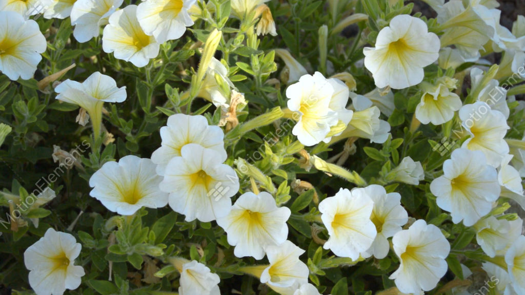 White flowers in a big bush stock video footage 10549433 white flowers in a big bush stock video footage mightylinksfo