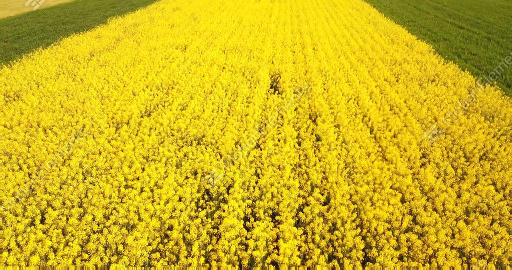 Field with yellow flowers of rapeseed in northern italy stock video field with yellow flowers of rapeseed in northern italy stock video footage 11595965 mightylinksfo