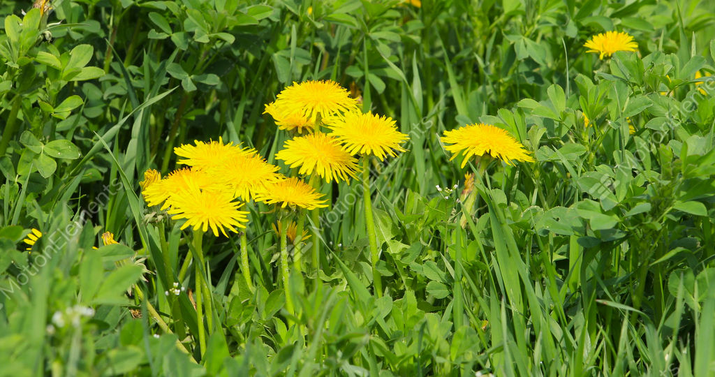 Yellow dandelion weeds in alfalfa farm field agriculture dci 4k yellow dandelion weeds in alfalfa farm field agriculture stock video footage mightylinksfo