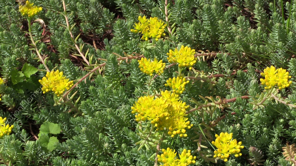Yellow succulent orpin plant flower grow in garden bumblebee stock yellow succulent orpin plant flower grow in garden stock video footage mightylinksfo