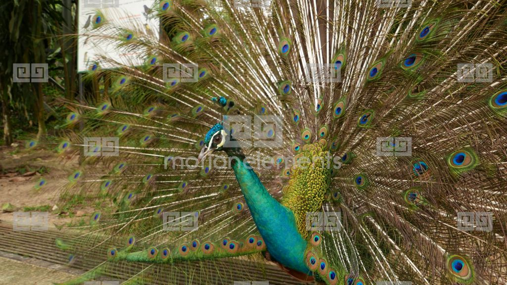 Close View Peacock Head Against Brightly Coloured Tail Fan, Bird Turn  Around Stock video footage