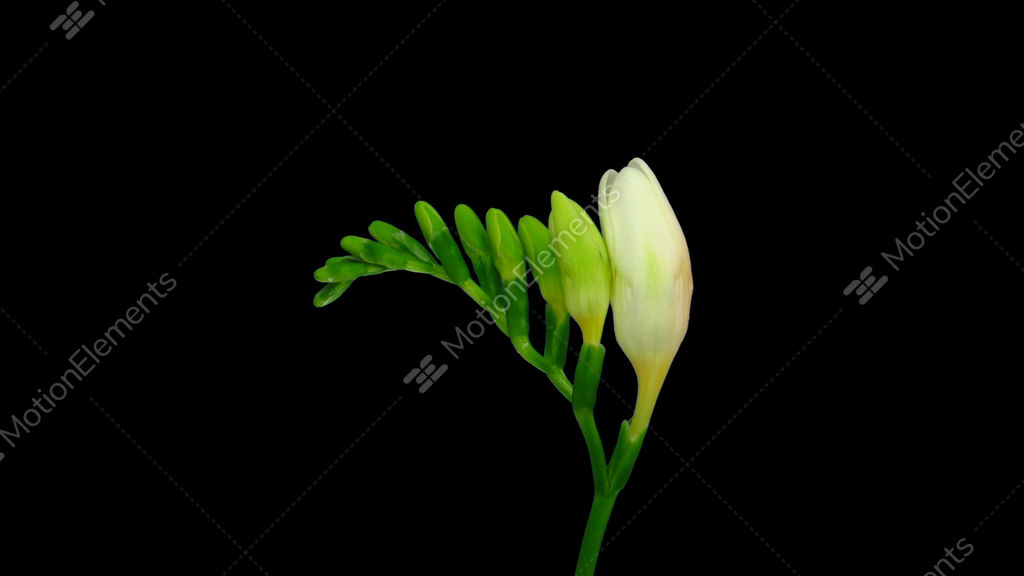 Time lapse opening white freesia flower buds with alpha channel time lapse opening white freesia flower buds with alpha stock video footage mightylinksfo