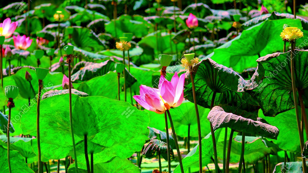 Blooming pink lotus flower sways and flutters in the wind stock blooming pink lotus flower sways and flutters in the wind stock video footage mightylinksfo