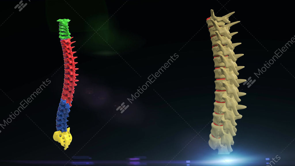 Thoracic Spine Stock Animation
