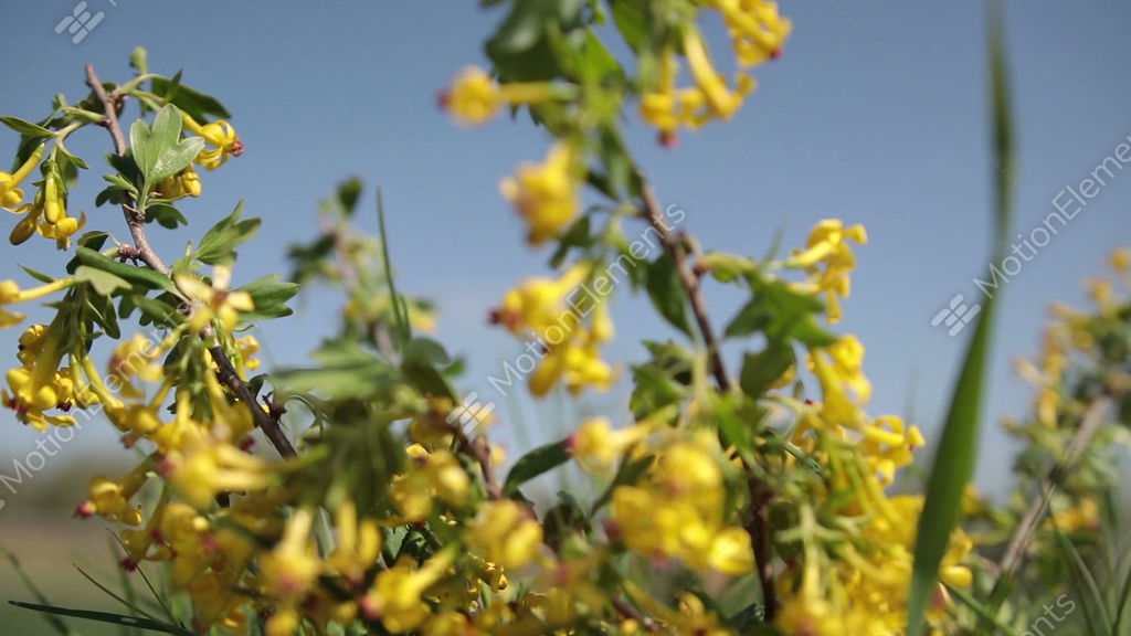 Golden Currant Blooming Bright Yellow Flowers Stock Video Footage