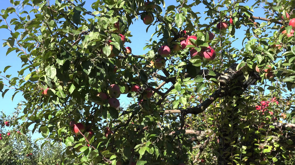 Rose Apple Fruit Tree For Sale