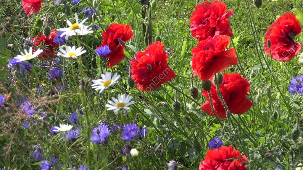 Colorful Flower Background In Garden. Poppy, Cornflower ...