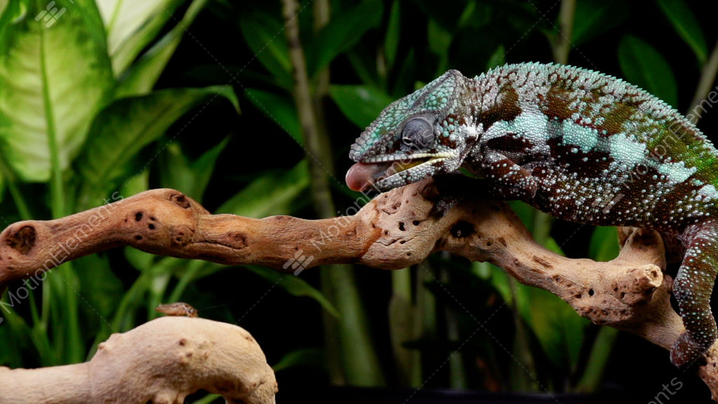 panther chameleon shoots it 39 s tongue out to catch a. Black Bedroom Furniture Sets. Home Design Ideas