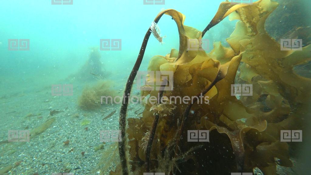 Underwater Seaweed Shots In Kara Sea Of Arctic Ocean Stock video ...