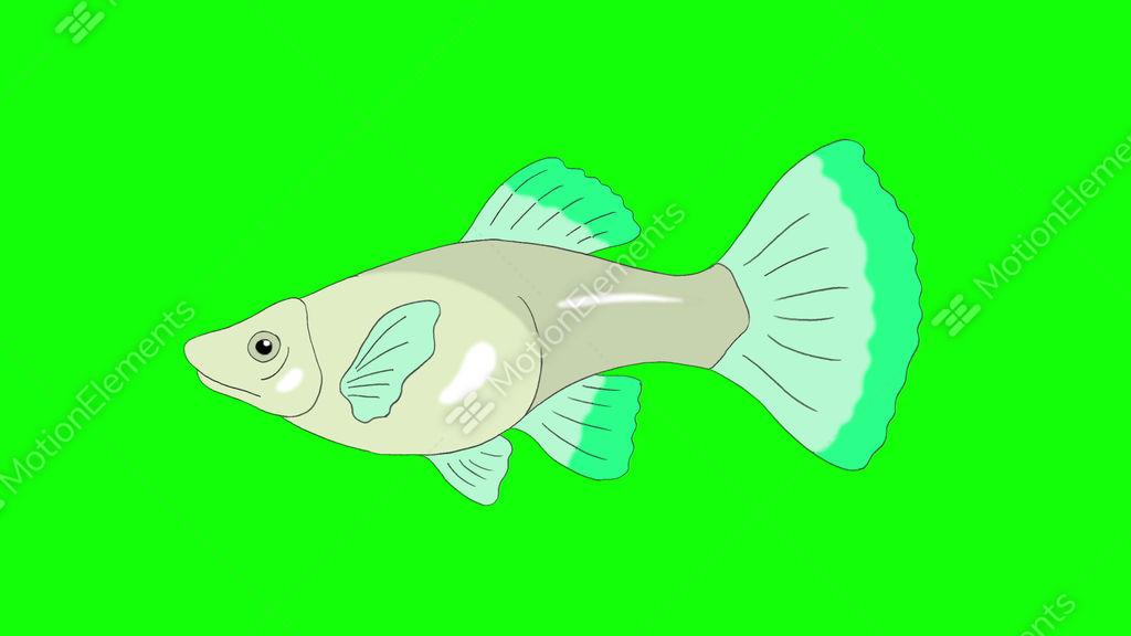 Big Green Guppy Aquarium Fish Chroma Key Looped Stock Animation
