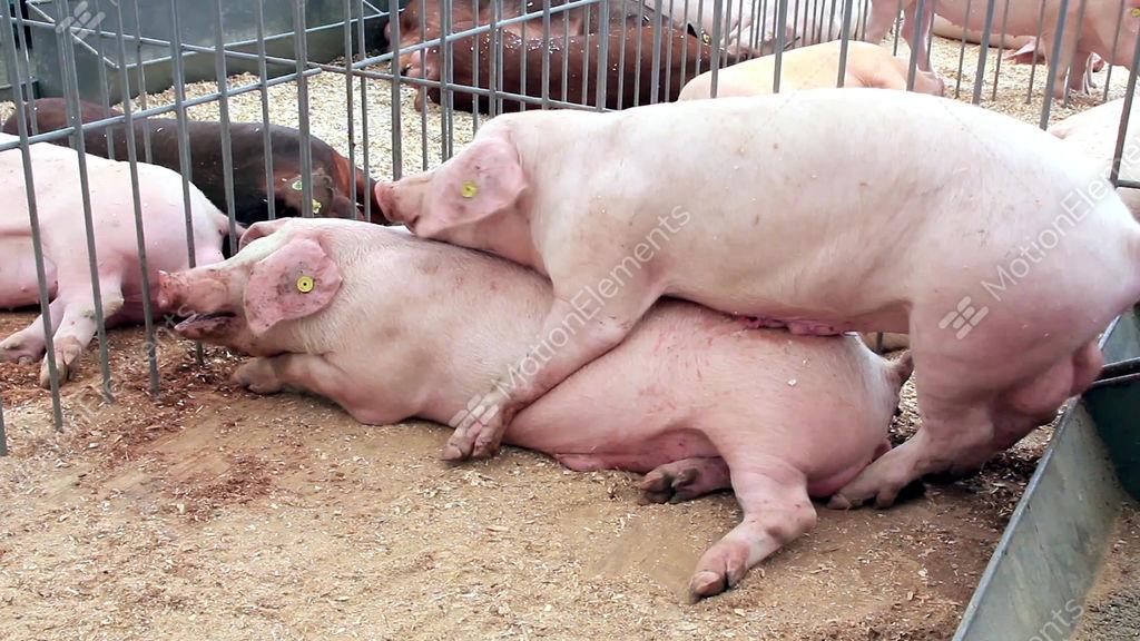 Порно видео секс со свиньей
