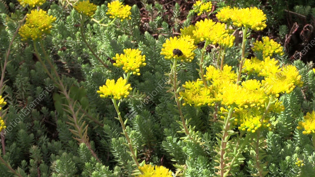Yellow succulent orpin plant flower blooms in garden bumblebee yellow succulent orpin plant flower blooms in garden stock video footage mightylinksfo